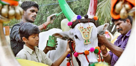 Some interesting facts about the Harvest Festival - Pongal