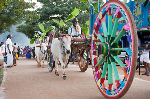 Image result for maattu pongal festival